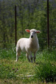 Pleasant Crest Lamb by aipstock
