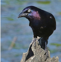 Common Grackle 001 by Elluka-brendmer