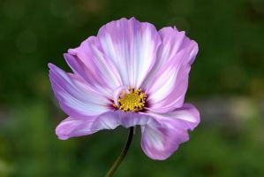 Another Cosmea by OfTheDunes