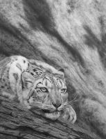 On the Edge....Snow leopard in Pencil by StephenAinsworth