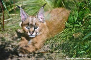 Caracal Cub by amrodel