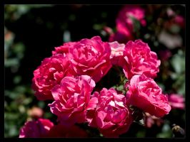 Red Roses by FT69