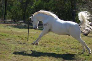 Horse stock - buck - lunge by Chunga-Stock