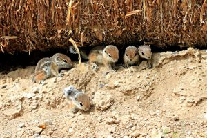 Baby Antelope Squirrels by Monkeystyle3000