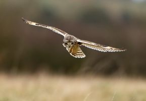 Oh there's one - Short-eared Owl by Jamie-MacArthur