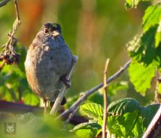 Yellow Crowned Sparrow by wolfwings1