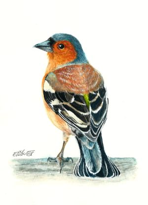 Chaffinch by Pampefox