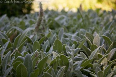 Botany - Lamb's Ear by Queen---of---Spades