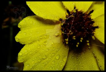 Morning Dew Yellow Flower by musickscapes