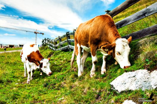 Cows by Man90Ray