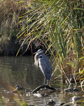 Great Blue Heron - Baylands by Starna