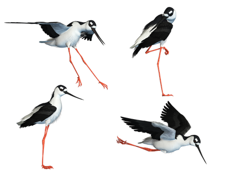 Wading Bird 04 PNG Stock by Roy3D
