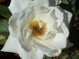 The First Bee by DanielleDucrest