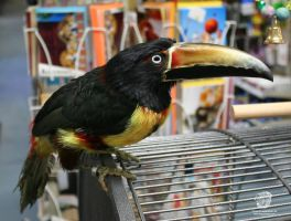 Tiki The Collared Aracari by leopardwolf