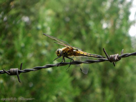 Dragonfly II by LexartPhotos