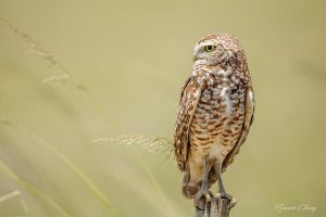 .:Burrowing Owl:. by RHCheng