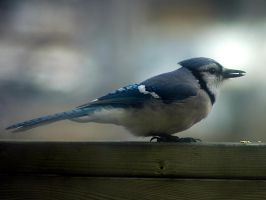 Blue jay 3 by LucieG-Stock