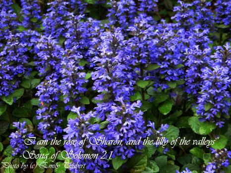 Song of Solomon 2:1 by Angel-the-wolf-14