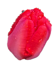 Tulip Head PNG by Bunny-with-Camera
