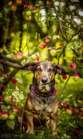 Just dog in apples by Psotkens