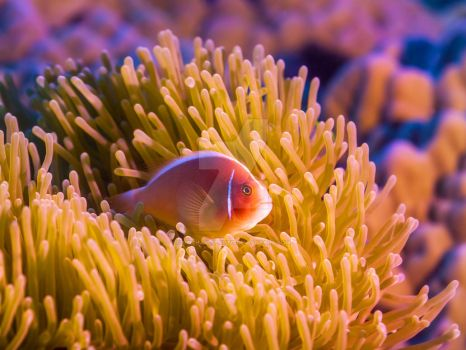 Tropical fish Pink clownfish by MotHaiBaPhoto