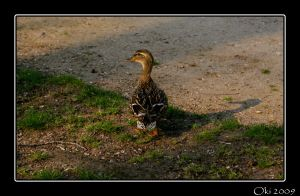 Duck by Oki666