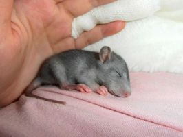 small rat:) by Nikoleta036