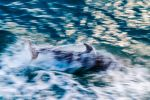 Diving Dolphin by TarJakArt