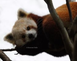 Red Panda by ScooterTheDog