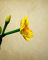 narcissus by tea