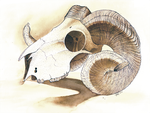 Illustration Class Exercise: Ram Skull by Impybutt