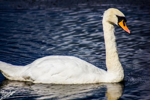 Scottish Swan by GraphicalHD