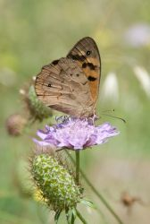 Common Brown by ThatHatChick