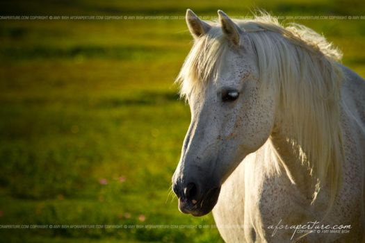 Wild Pony from Ocracoke 5040 by AforAperture