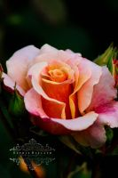 Queen of Roses by Sophie-Wieland