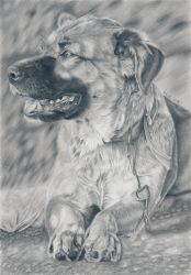 Dog - Graphite pencil drawing by kad-portraits