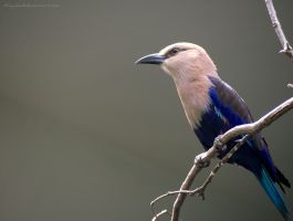 Blue Bellied Roller by Minyaden