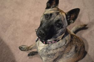 Gold Brindle by That-Photographer