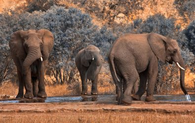 Kruger Park Elephants - Exclusive Stock by boldfrontiers