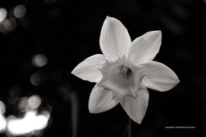 Daffodil Monochrome 3 by DorianStretton