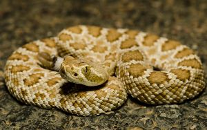 Neonate Crotalus scutulatus by michael-ray