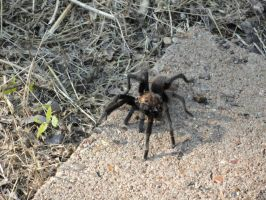 Mr. Tarantula by VicodinFlavoredMints