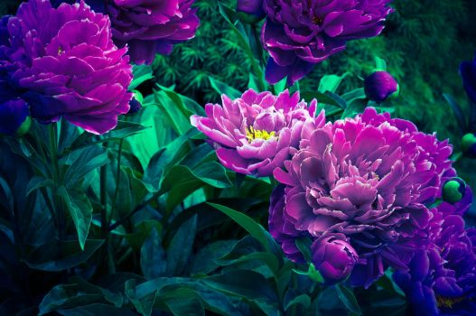 Peony Flair by toddyost