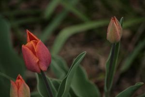 Tulipa by tactimus