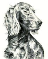 Red Setter in Pencil by Sparkmachine