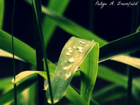 Morning Dew Drops by SnowLily321