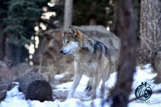 Mexican Gray Wolf - snow by TaksArtPhotos