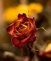 dried rose by 4GottenWords