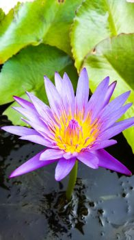 Waterlily7 by crystal-sand