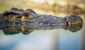 Cuban Crocodile by LisaAnn1968